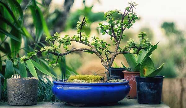 Bonsai Gardening Basics For Beginners