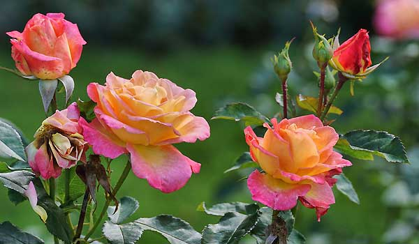 Rose Care - Watering, Feeding, Pruning And Winterizing Roses